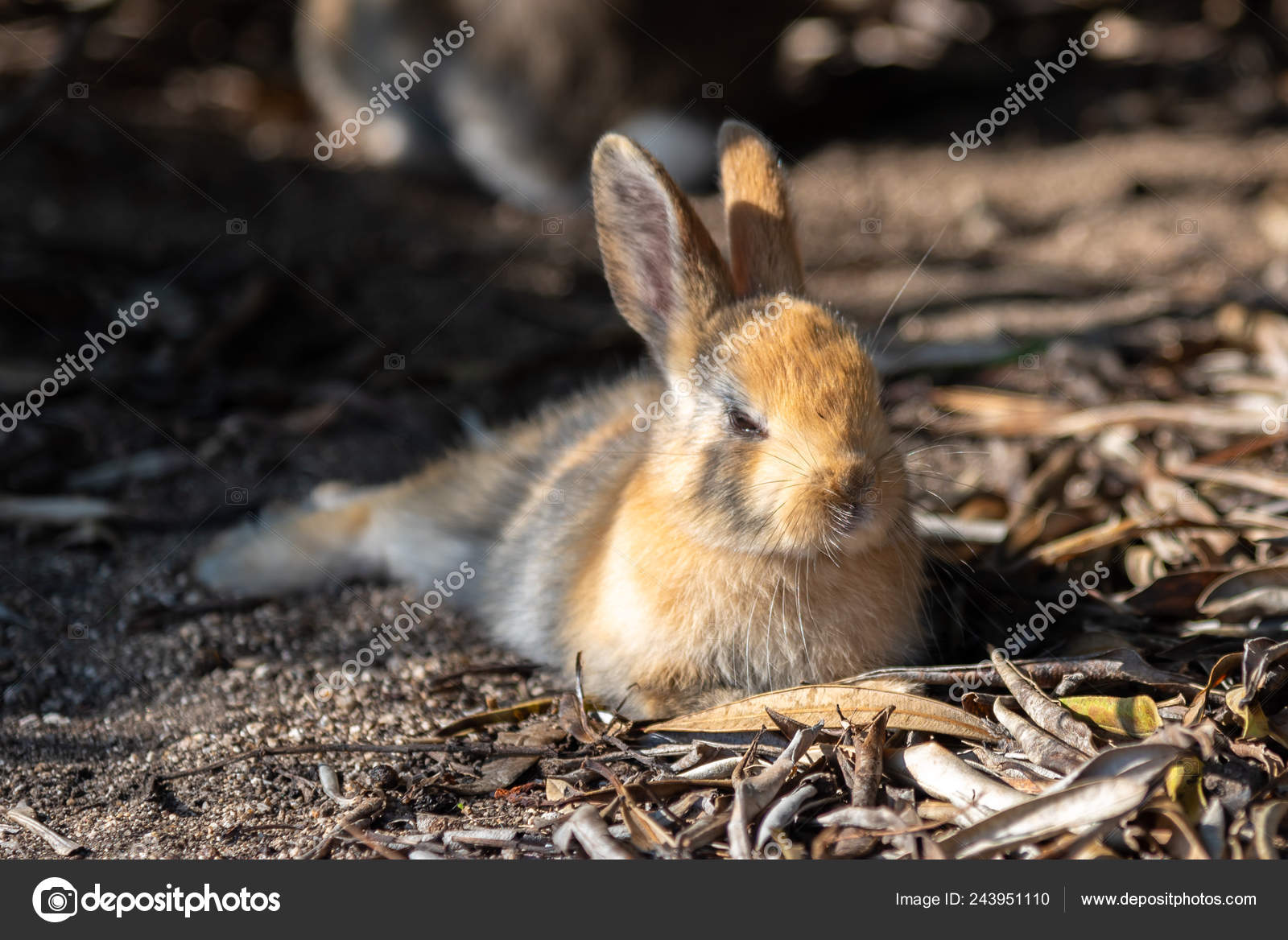 Cute Wild Rabbits Okunoshima Island Sunny Weaher Known Rabbit Island