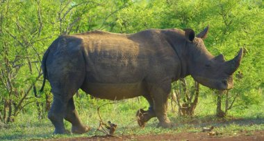 Here in the photo we see a large rhinoceros with a pointed nose.