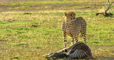 Here in the photo we see a beautiful cheetah and it is very dangerous.