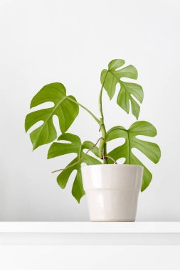 Modern houseplants in a ceramic pot with the white wall for copy space, minimal creative home decor concept, Rhaphidophora Tetrasperma or Mini Monstera stock vector