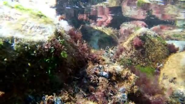 Unterwasseraufnahmen aus dem Schwarzen Meer, Tauchen in der Küstenzone, satte Grünalgen auf Steinen und kristallklares Wasser am frühen Morgen, Sommerzeit in Odesa