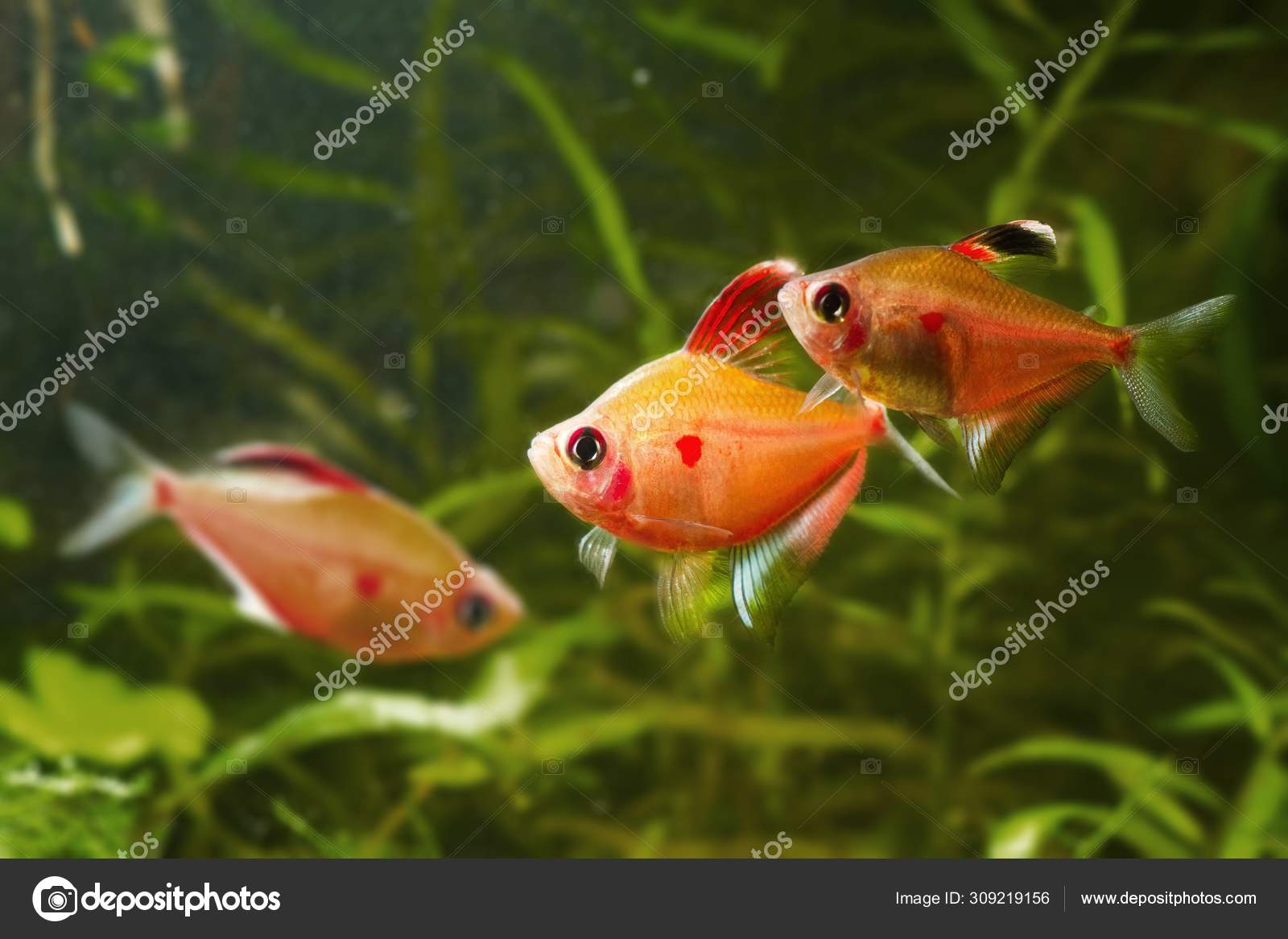 Bleeding Heart Tetra Hyphessobrycon Socolofi Popular Ornamental Blackwater Wild Fish Stock Photo C Valeronio 309219156