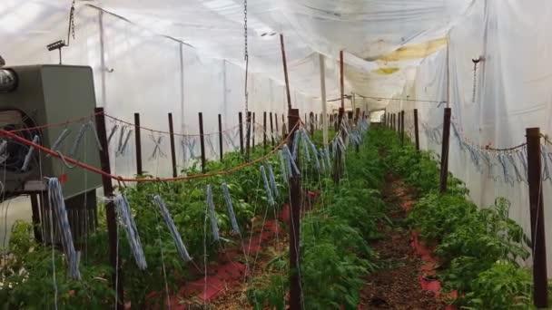 Chudák Zelený dům s mladými rajčaty Rostliny jsou pěstovány a péče o