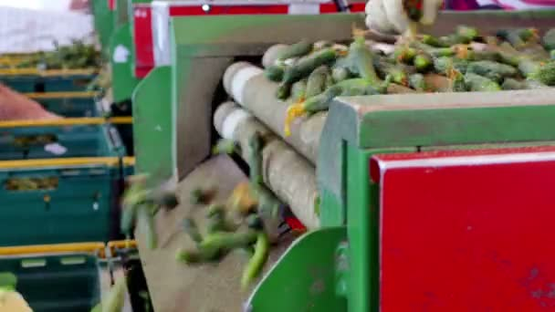Conveyor Belt for the Processing of Raw Vegetables / Production line for calibration and processing of cucumbers