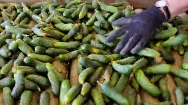 Selection of  Gherkins for Sale / Production line for calibration and processing of cucumbers
