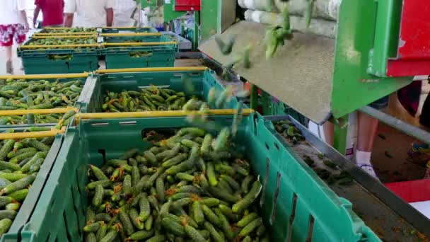 Production of Consumer Cucumber / Production line for calibration and processing of cucumbers