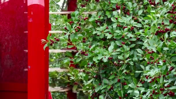 Machine Shaking Cherry Wood / Picking cherries on a plantation with modern machines