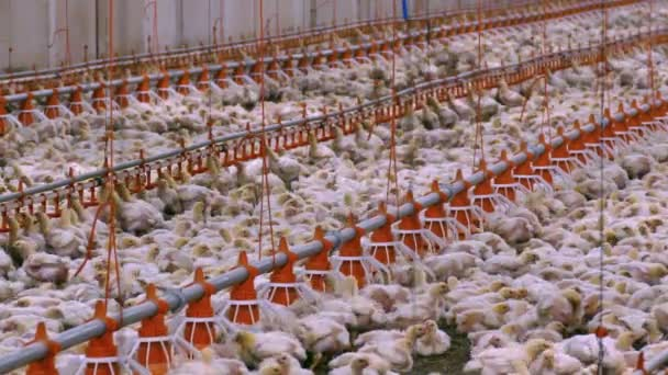 Chicken Farm / Chickens for fattening on a modern poultry farm