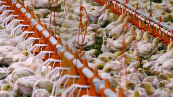Chicken Farming Business / Chickens for fattening on a modern poultry farm