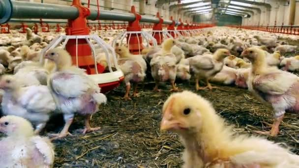 Poultry Farm With Lots of Chicken / Chickens for fattening on a modern poultry farm