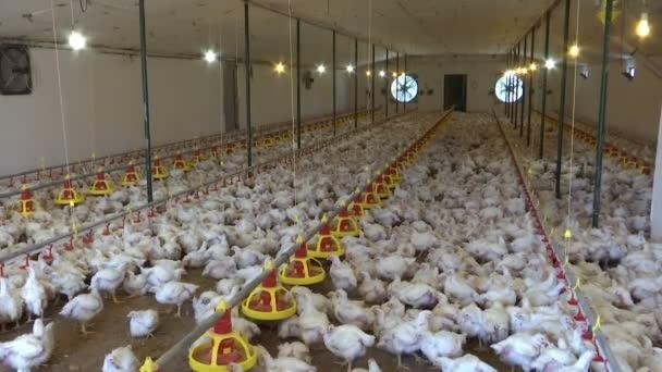 Farm for Breeding Chickens / Modern poultry farm for breeding chickens