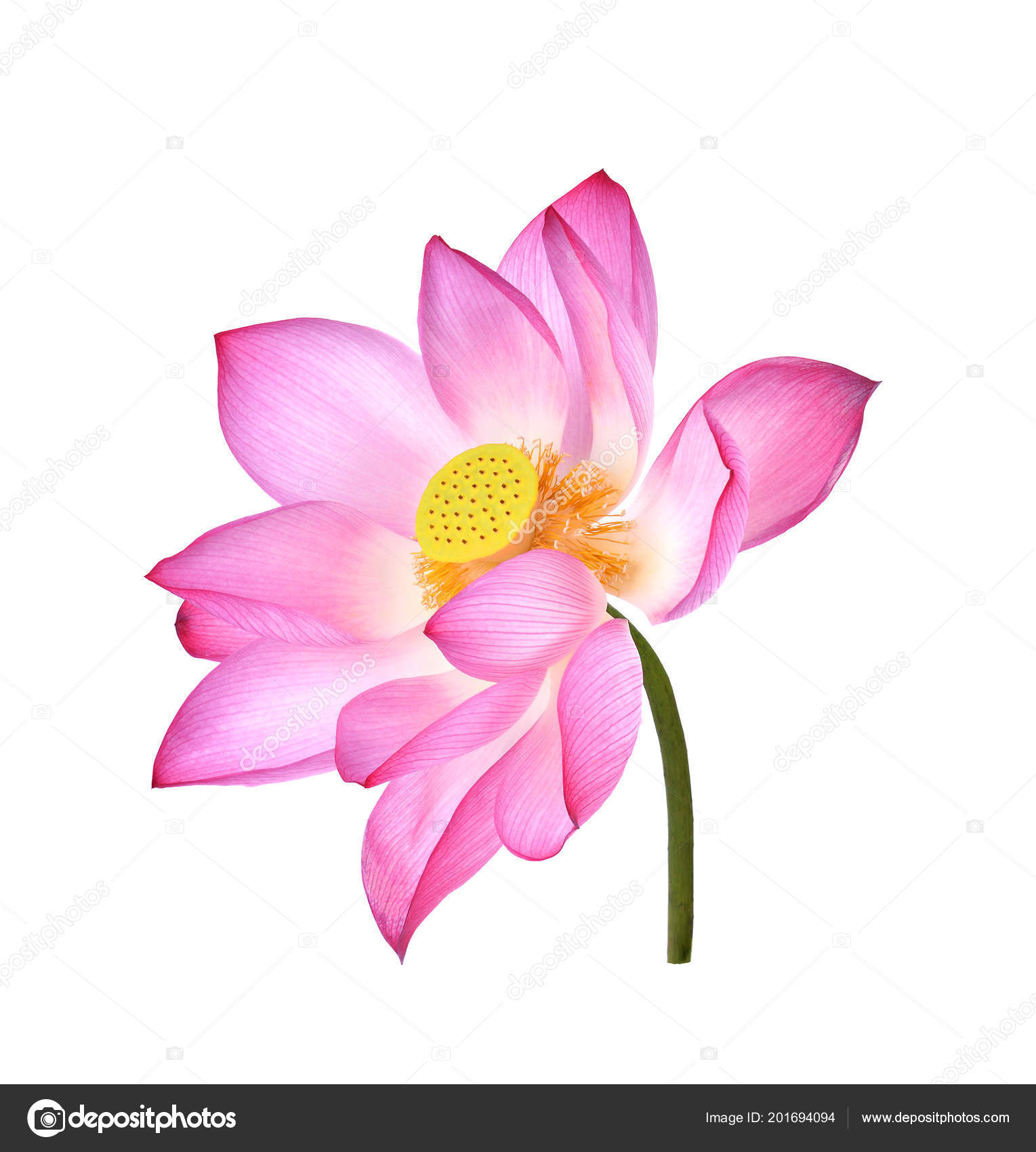 Lotus flower white background stock photo anatchantgmail lotus flower white background stock photo izmirmasajfo