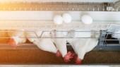 Fényképek Csirke tojás baromfi farm, csirke tojás megy egy futószalagon, a sun, a farm