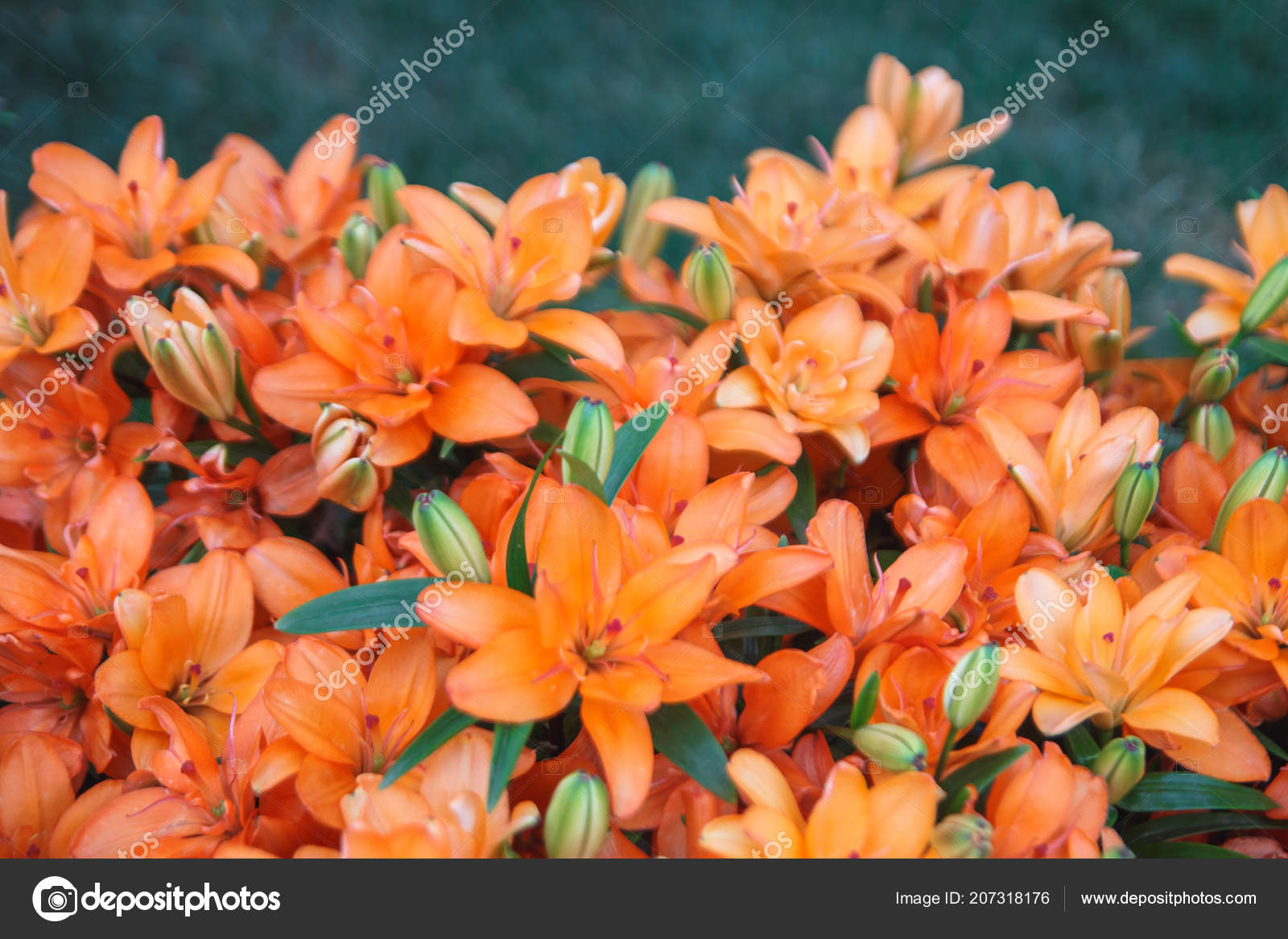 Sfondo Fiori Giglio Arancione Piena Fioritura Del Giglio Rosso Cupo