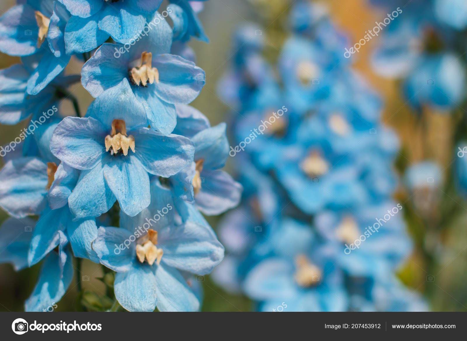 Big Flower Delphinium High Garden Blue Flowers Candle Delphinium