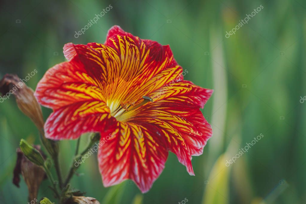 Salpiglossis sinuata flower in nature. Pink flowers, similar to lilies, with an unusual textured beautiful pattern. Floral background for wallpaper. Cool tint for a social network.