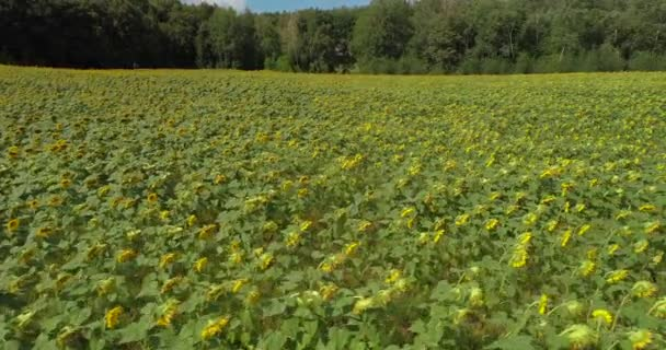 Flying over the field of sunflowers. Aerial view of sunflowers in summer in sunny weather. Sunflower oil. Green leaves and yellow flowers. Seeds. 4K drone footage