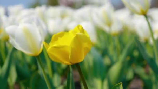 Dekoratív sárga és fehér tulipán csapkodott a szél a gyönyörű háttérben. Az élénk természetes színekkel virágzó virágok a tavaszi kertben virágosnak. Közelről. 4k felvételek.