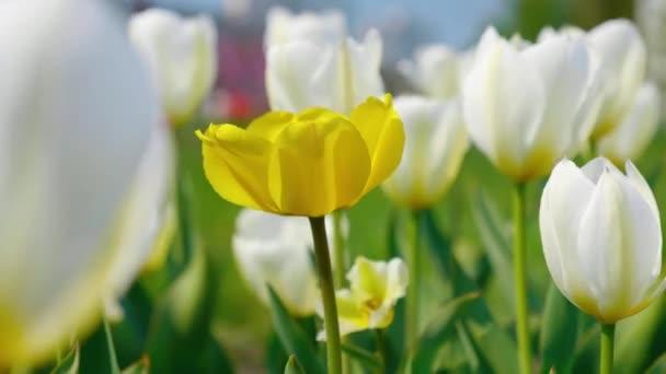Ozdobné žluté a bílé tulipány, které se ve větru třepetaly na krásném pozadí. Květy s pulzující přírodní barvou kvetou v jarní zahradě. Zavři to. 4k záběr.