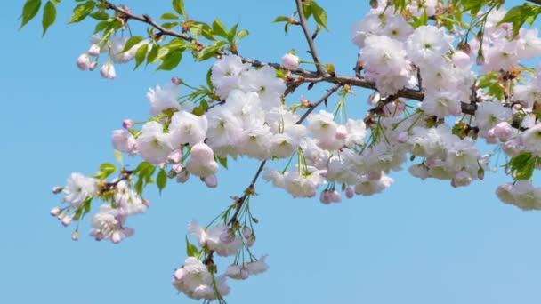 Bílý sakurský strom se třepetal ve větru proti modrému nebi. Květy s pulzující přírodní barvou kvetou v zahradě na krásném pozadí. Zavři to. 4k záběr.