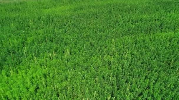 Légifelvételek egy mező éretlen zöld engedélyezett szerves műszaki kender a napsütéses napon. Gyomnövény a fenntartható árucikk. Ipari kannabisz. 4k drone felvételek.