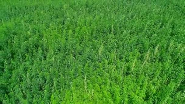 Aerial view of a field of unripened green licensed organic technical hemp at the sunny day. Weed is sustainable commodity. Industrial cannabis. 4K drone footage.