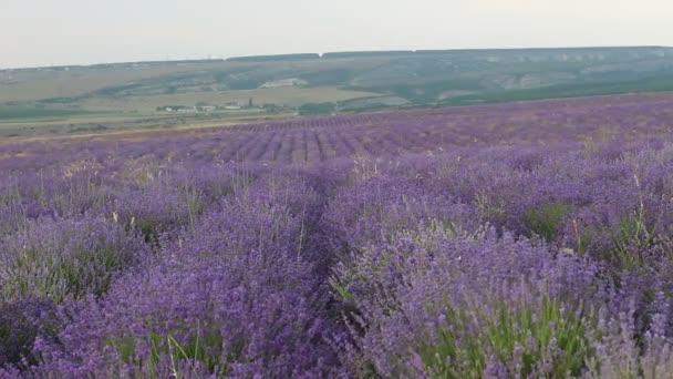 Die Lavendelfelder. Sammer Lavendel-Plantage