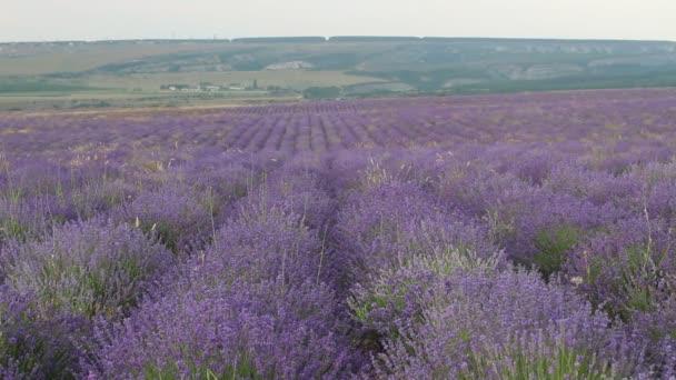 Levandulový keře. Sezóna levandule v Provence