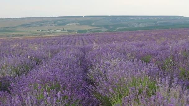Lavender bushes. Lavender season in Provence