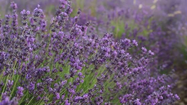 Closeup levandule v poli. Sezóna levandule v Provence