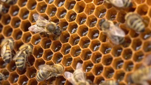 Die Bienen speichern Nektar in Wabenzellen aus Wachs. der Honig ist noch etwas feucht, also fächern sie ihn mit den Flügeln an, damit er austrocknet und klebriger wird