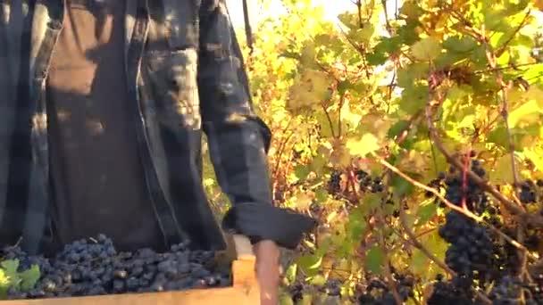 The harvest season. The harvesting of wine grapes (Vintage) in winemaking. Working and Volunteering in Vineyards