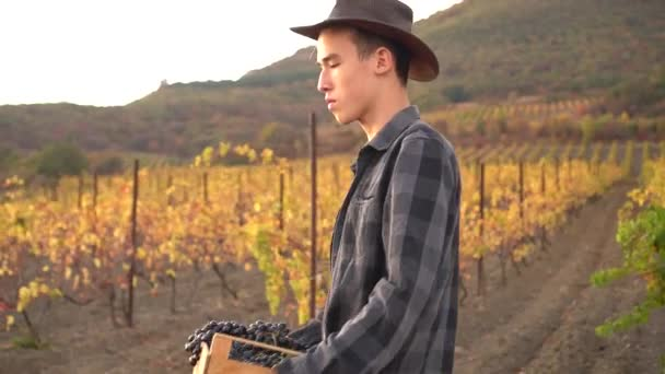 Rodinná vinice. Mladý atraktivní farmář, dědičný vinař pracující v období sklizně na vinném poli. Sklizeň moštových hroznů (ročník) při výrobě vína. Sklizeň hroznů