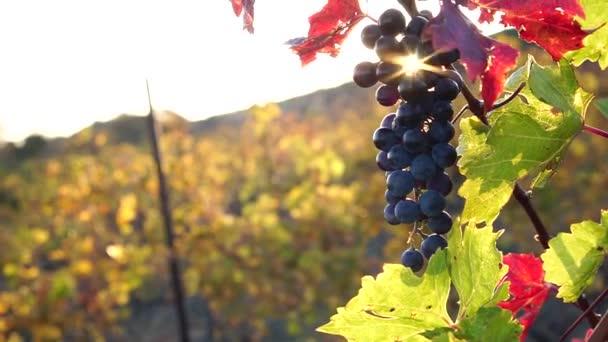 Hroznová ratolest připravená ke sklizni. Západ slunce a záře objektivu. Malebné vinice na podzim. Červené hrozny visící na vinici. Období sklizně