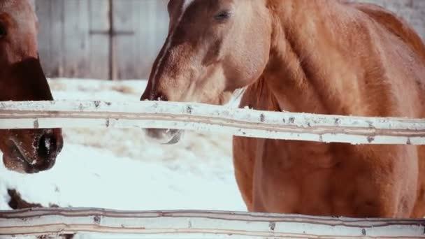 Zimní, slunný, studený den, hladový kůň natáhne Polák.