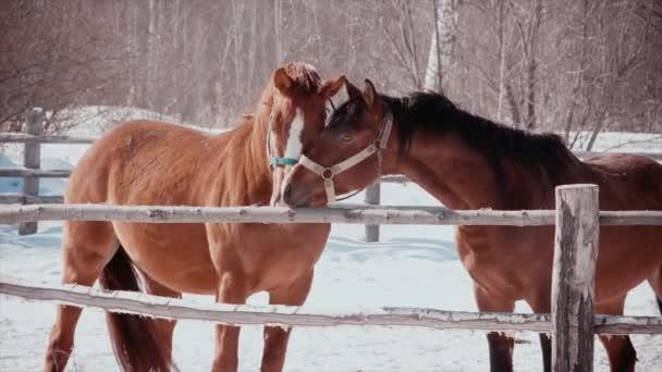Mrazivý slunečný den, dva koně vzájemně hladit. Romance z koní