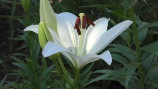 Garden lily white in the summer garden