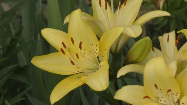 Kerti liliom sárga A pöttyös nyáron