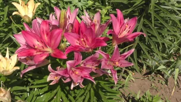 Lilie zahradní fialová v letní zahradě