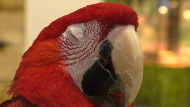 Papoušek červený ARA rod ptáků čeledi Psittacidae