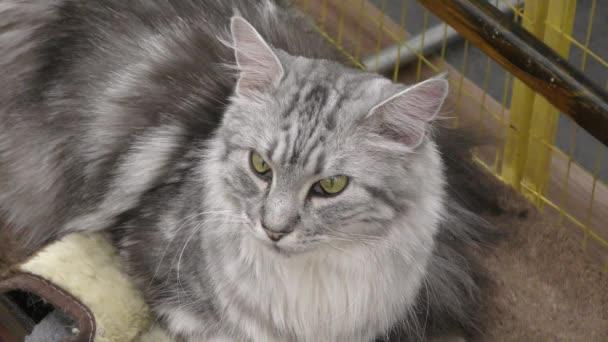 Kitten breeds Siberian cats