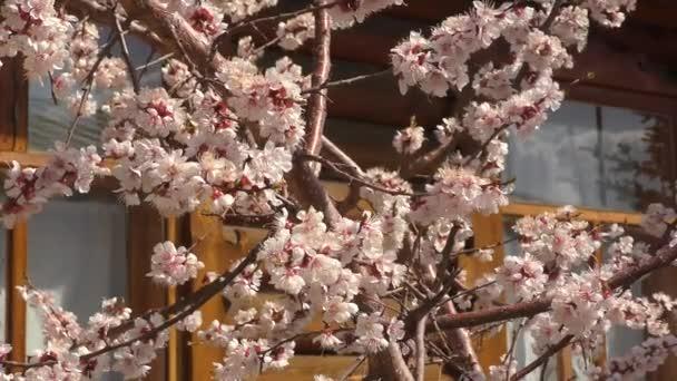 Meruňkové květy v jarní zahradě