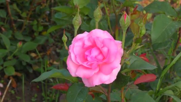 Růžová barva v letní zahradě