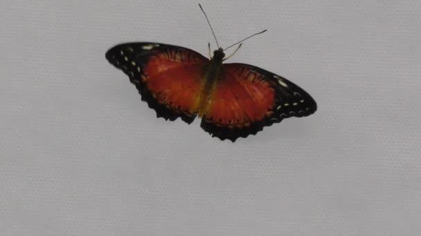 Motýl z tropů nebo motýl plachetnice