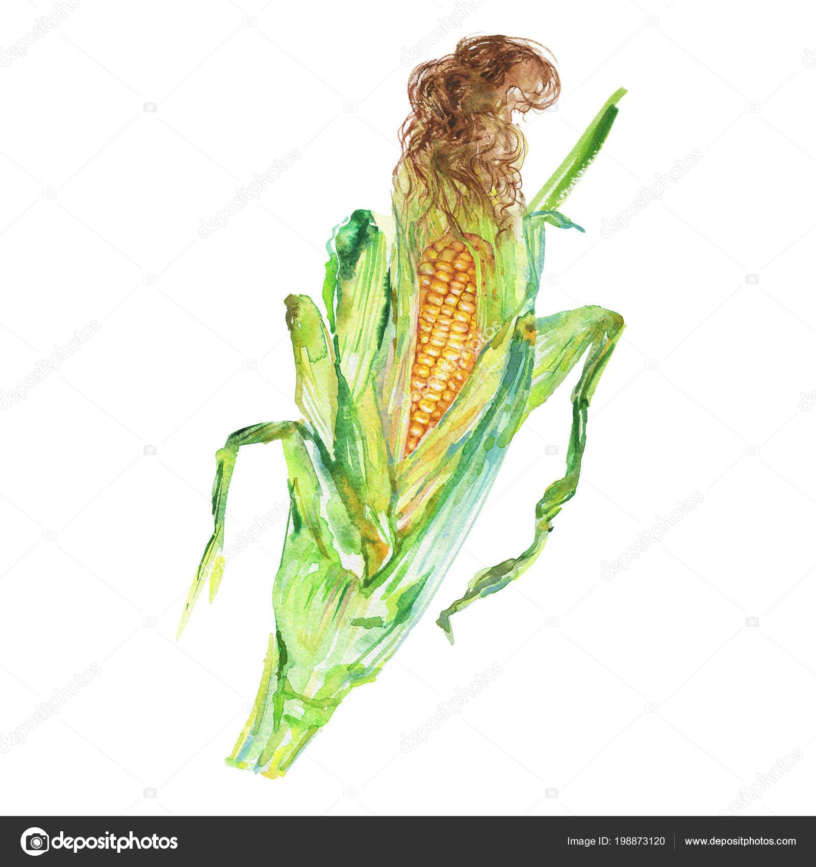 Aquarell Maiskolben Auf Weißem Hintergrund Handgezeichnete Gemüse ...