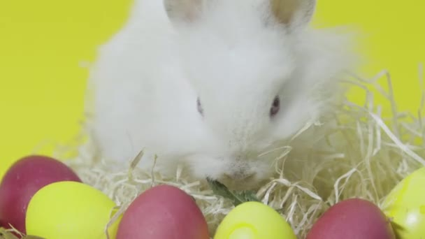 Easter bunny eating in nest with colored eggs on yellow background
