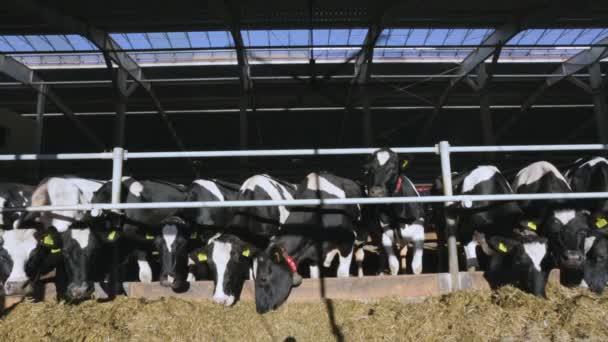 Cows on summer farm