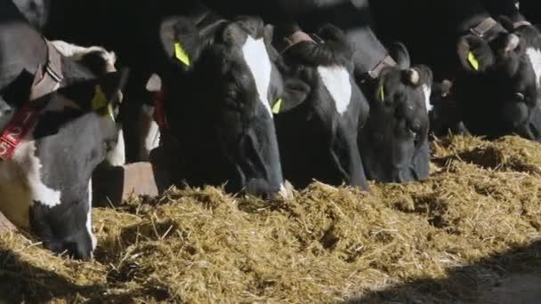 Diario di mucche in fattoria. Mucche in bianco e nero che mangia fieno nella stalla