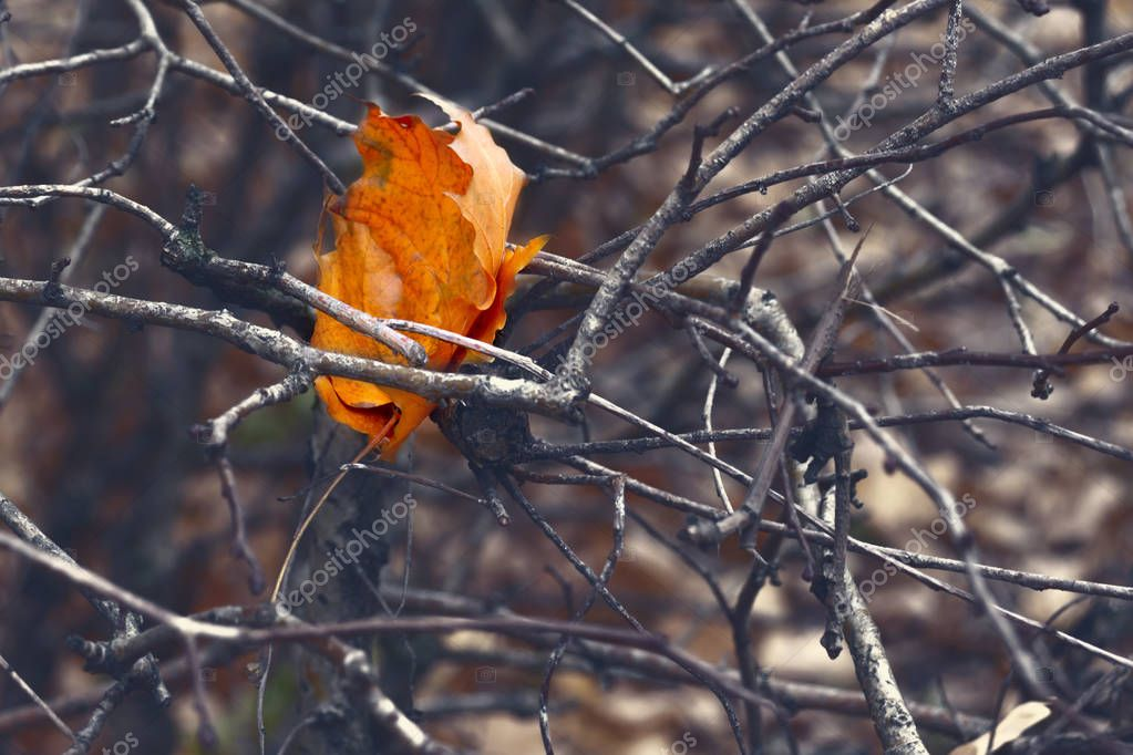 Lonely orange dry autumn leaf in tree branches, depression, loneliness and solitude concept.
