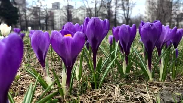 Modrá něžná jemná pastelová jarní květy blízko, panoramatický výhled